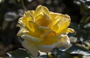 ゴールドクローネ(Goldkrone) バラ