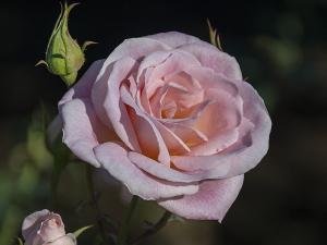 ピンク・シフォン(Pink Chiffon) バラ