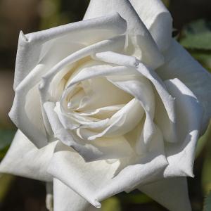 白鳳(Hakuhou) バラ