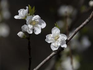 関白・寒白桃(かんぱく) 花桃