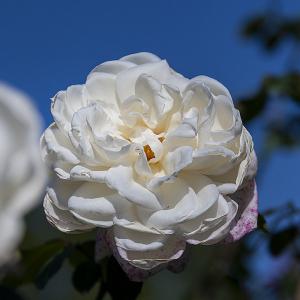 新雪(Shinsetsu)バラ