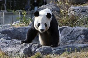 ジャイアントパンダ「力力(リーリー : Li Li )」
