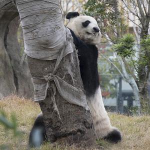 ジャイアントパンダ「真真(シンシン : Zhen Zhen)」