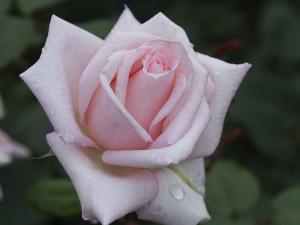 メルヘンケニギン(Marchenkonigin) バラ