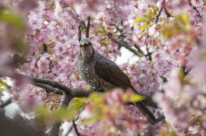 河津桜とヒヨドリ
