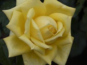 秋月(Shugetsu) バラ