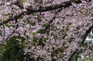 オオカンザクラ(大寒桜)