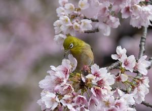 オオカンザクラ(大寒桜)とメジロ
