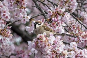 オオカンザクラ(大寒桜)とスズメ