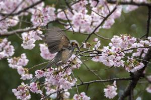 オオカンザクラ(大寒桜)とヒヨドリ