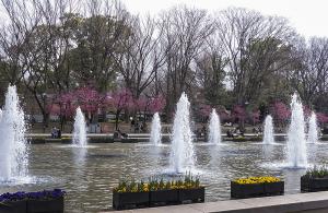 上野公園大噴水横の寒緋桜(カンヒザクラ)