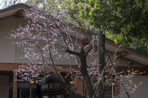 アカバザクラ(赤葉桜)