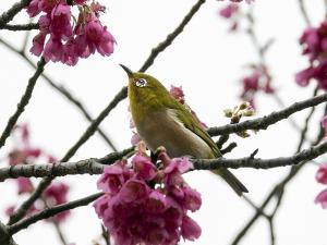不忍池の寒緋桜(カンヒザクラ)とメジロ