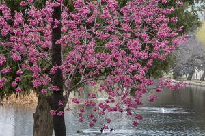 不忍池の寒緋桜(カンヒザクラ)