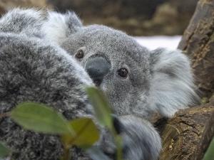 金沢動物園のコアラの赤ちゃん「たんぽぽ」