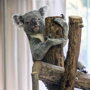 金沢動物園のコアラ(♂)「チャーリー」