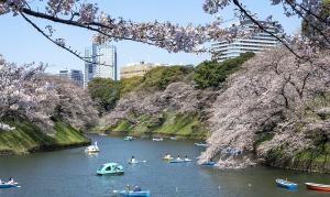 千鳥ヶ淵の桜(ソメイヨシノ)