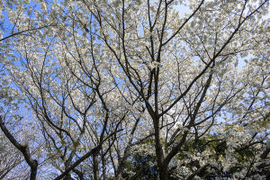 大島桜(オオシマザクラ)