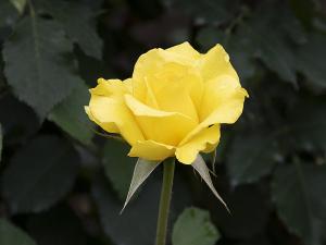 ゴールデン・メダイヨン(Golden Medaillon)バラ