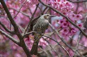 ヨコハマヒザクラ(横浜緋桜)とヒヨドリ(鵯)