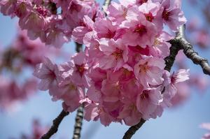 ヨコハマヒザクラ(横浜緋桜)