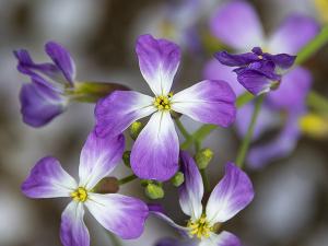 ハマダイコン(浜大根)の花