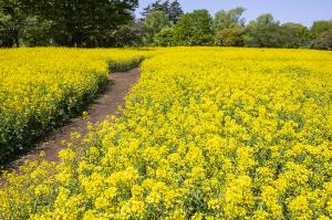 国営昭和記念公園のナノハナ(菜の花)