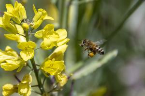 ナノハナ(菜の花)とミツバチ