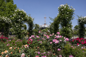 山下公園「未来のバラ園」