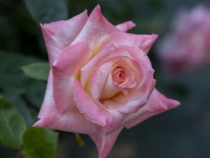 ダイアナ・プリンセス・オブ・ウェールズ( Diana, Princess of Wales) バラ
