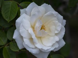 プリンセス・オブ・ウェールズ(Princess of Wales) バラ