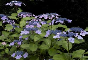 上野公園のアジサイ(紫陽花)