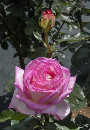 プリンセス・ドゥ・モナコ(Princess de Monaco) バラ