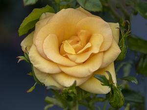ハーベスト フェイヤー(Harvest Fayre) バラ