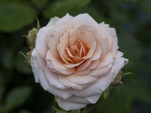 キャリオペ(Calliope) バラ