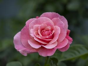 ティックルド・ピンク(Tickled Pink) バラ