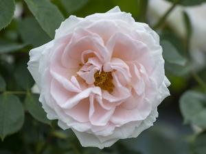 ピンク シフォン(Pink Chiffon) バラ