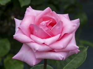 カリネラ(Carinella) バラ