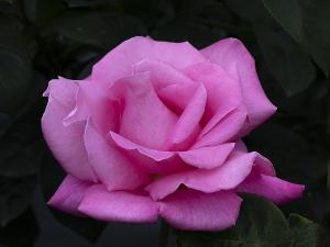 パフューム ディライト(Perfume Delight) バラ