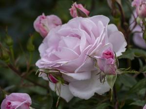 ストロベリー・ダイキリ(Strawberry Daiquiri) バラ
