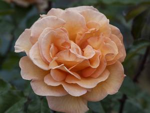 ドリス タイスターマン(Doris Tysterman) バラ
