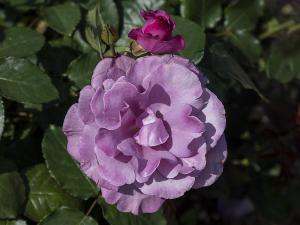 フェルゼン伯爵(Le Comte Fersen) バラ