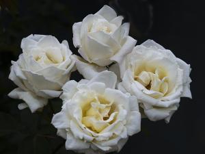 ホワイト クリスマス(White Christmas) バラ
