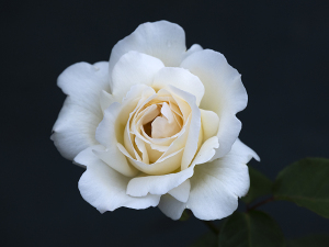 白鳥(Hakucho) バラ