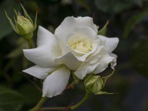 ホワイト マスターピース(White Masterpiece) バラ