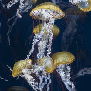 パシフィック シーネットル(Pacific sea nettle)