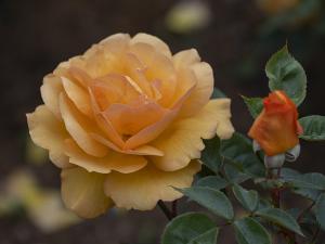 ゴールデン ビューティ(Golden Beauty) バラ