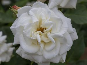 銀嶺(Ginrei) バラ
