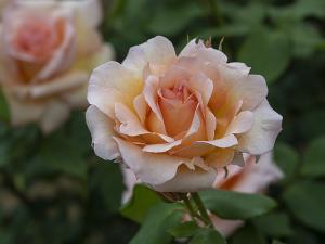 アプリコット・ネクター(Apricot Nectar) バラ