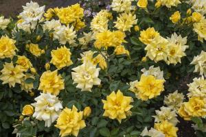 イエロー・メイアンディナ(Yellow Meillandina) バラ